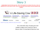 A life-saving cow
